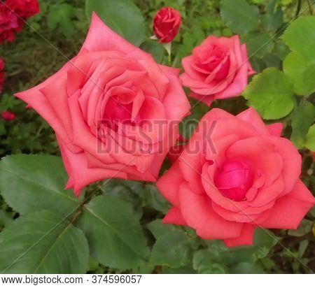 Spectacular Red Roses Close-up. Delicate Rose Petals On A Background Of Green Leaves. Macro Shot. Su