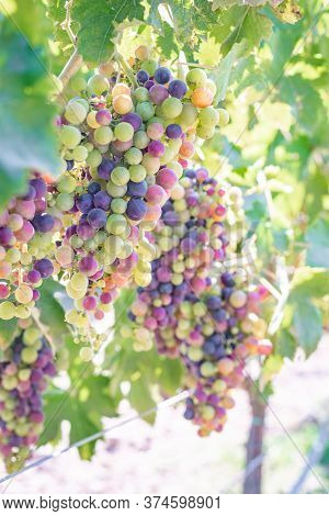 Red Wine Grapes On The Vine Nearing Ripeness In Veraison In Dry Creek Valley Sonoma County Wine Coun