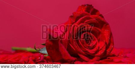 Red Rose Flower. Close Up Of Red Roses And Water Drops. Roses In Flower Shop. A Red Rose Bloom. Rose