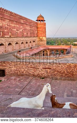 Agra, Uttar Pradesh / India - October 5, 2019: Goats In Fatehpur Sikri, Former Capital Of The Mughal