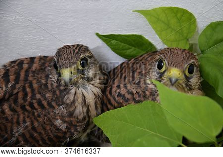 Chicks Of The Kestrel. Small Falcons Near The Wall Of The House. Wild, Small, Defenseless, Curious,