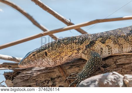 A Water Monitor, Varanus Niloticus, At The Top Of The Epupa Waterfalls In The Kunene River