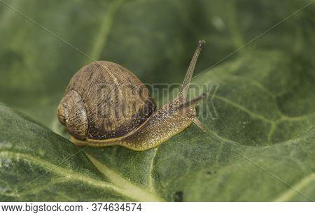 Close Up Photo Of A Land Snail (cornu Aspersum) On A Leaf, Taken In Studio.
