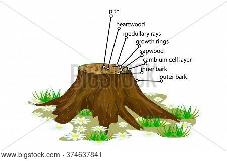 Anatomy Of A Tree Isolated On White Background. Structure Of The Slice Of The Tree Layers In Cross S