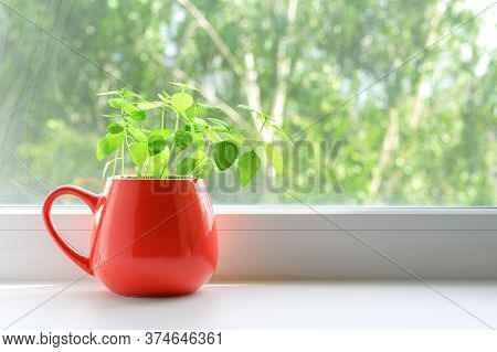 Fresh Green Basil Grows In A Red Mug On A Windowsill. Home Garden. Copy Space.