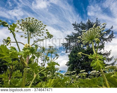 The Heracleum Sosnowskyi - The Umbrella Weed Plant