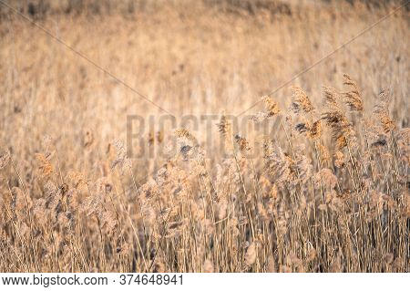Dry Reeds By The Lake. Golden Reeds In The Sun In Early Spring. Abstract Natural Background.