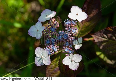 Beautiful Hydrangea Serrata Flower With Sunlight. Fuji City, Japan In Early Summer. Common Names For