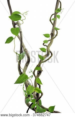 Circular Vine At The Roots. Bush Grape Or Three-leaved Wild Vine Cayratia (cayratia Trifolia) Liana