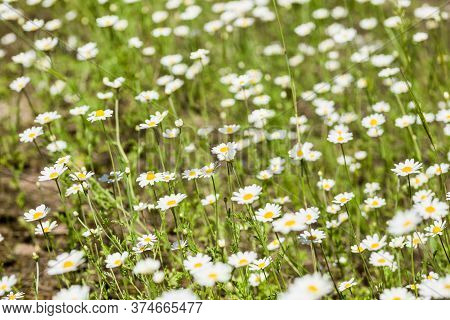 Differential Focus. Blurred. There Are Lots Of Bright White Daisies Growing On Green Meadow On Hot S
