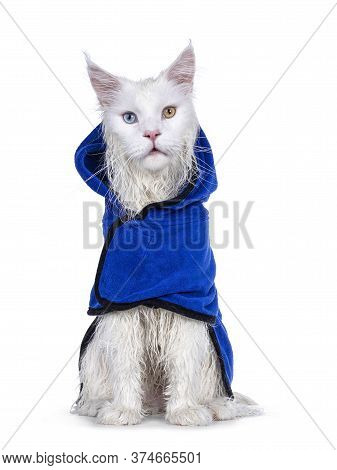 Freshly Washed Solid White Odd Eyed Maine Coon Cat Wearing Blue Towel Cape, Sitting Facing Front. Lo