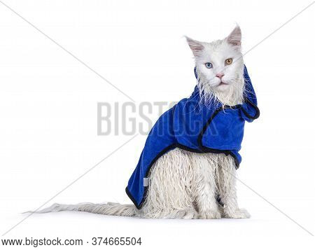 Freshly Washed Solid White Odd Eyed Maine Coon Cat Wearing Blue Towel Cape, Sitting Side Ways. Looki