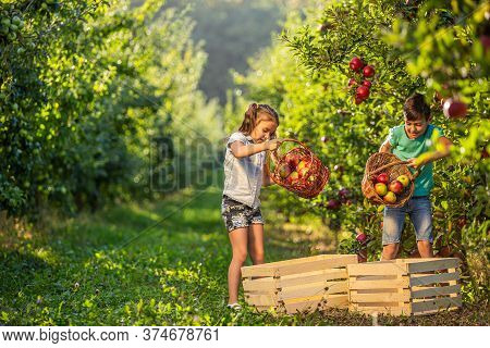 Lively Children Helping In The Garden, Picking Apples And Pouring Them From Baskets Into Crates.