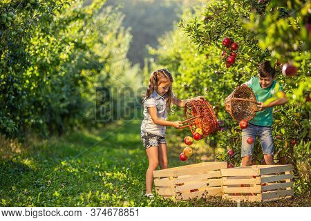 Friendly Hard-working Siblings On Farm Picking Apples Into Wicker Baskets And Then Pour Them Into Cr