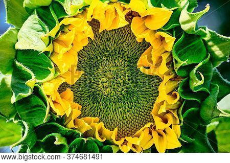 Yellow Pattern Of Blooming Sunflower Seeds With Petals. Macro Shooting Of Stamens And Anthers. Green