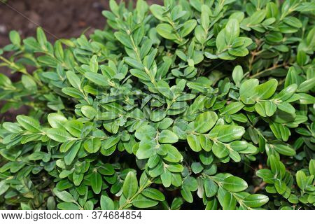 Natural Green Background. Leaves Of The Plant.