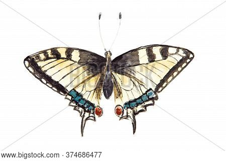 Watercolor Drawing Of The European Swallowtail Isolated On The White Background. Handmade Illustrati