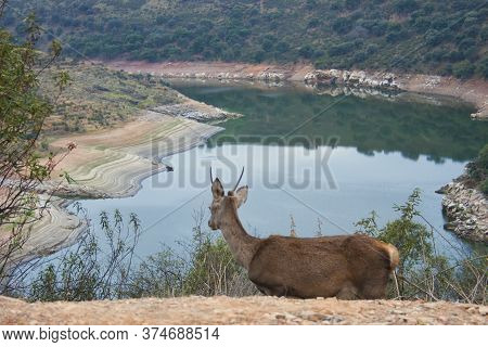 A Young Deer In The Monfrague National Park Looking At The Tagus River In The Mountains Of Extremadu