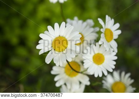 Chamomile Wildflowers. White Wildflowers. Flower Petals. White Flower Petals.