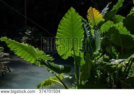 Tropical Plants And Fresh Water Spring. Tropical Summer Nature Photo. Green Leaf In Backlight. Natur