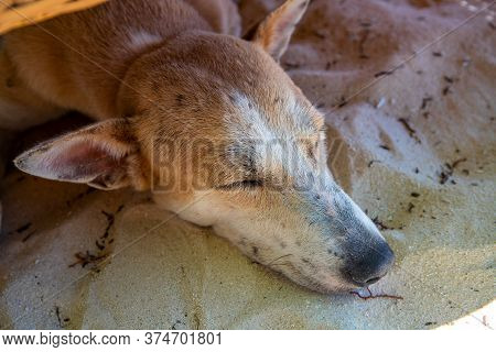 Yellow Dog Sleeping On Sand. Domestic Animal Portrait. Fluffy Yellow Dog Resting In Sunlight. Summer