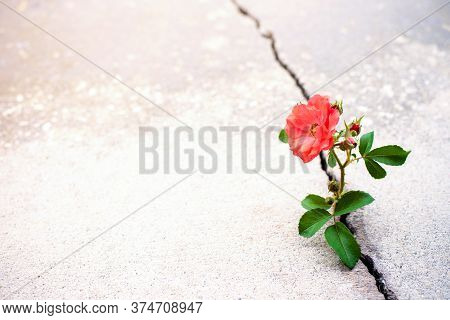 Rose flower growing from crack in the rode, new growth in the middle of crisis, new life new hope
