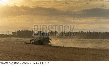 Harvesting Rice In The Albufera Of Valencia At Sunset, Valencia.