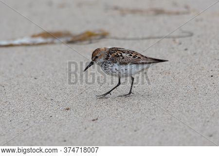 Least Sandpiper Walking Along The Beach Sand Looking For Clues That Might Lead To A Meal.
