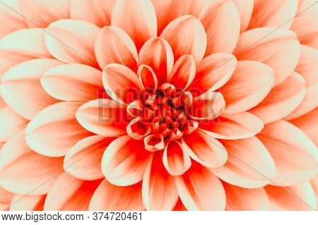 Defocused Coral Dahlia Petals Macro, Floral Abstract Background. Close Up Of Flower Dahlia For Backg