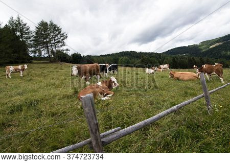Cowherd Grazing On A Meadow In The Alps