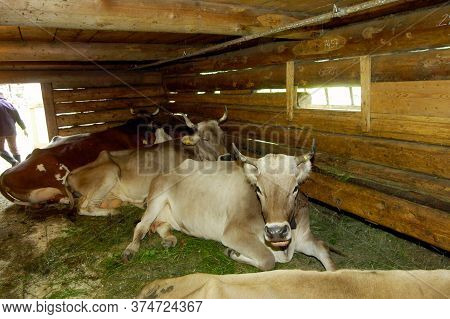 Cowshed With Cows On The Mountain Pasture