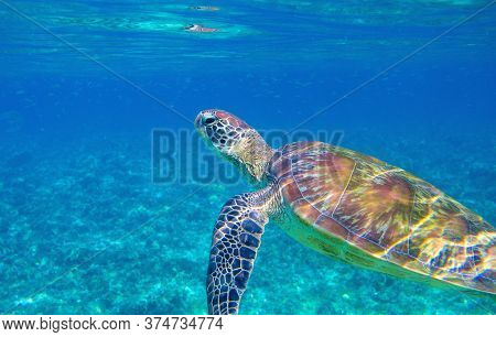 Sea Turtle In Blue Lagoon. Cute Sea Animal Underwater Photo. Tropical Island Turtle Snorkeling And D