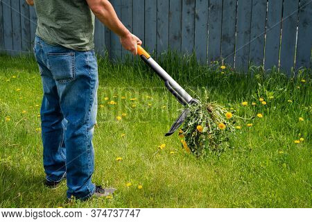 Man Removing Weeds Dandelions From Yard. Mechanical Device For Removing Dandelion Weeds By Pulling T