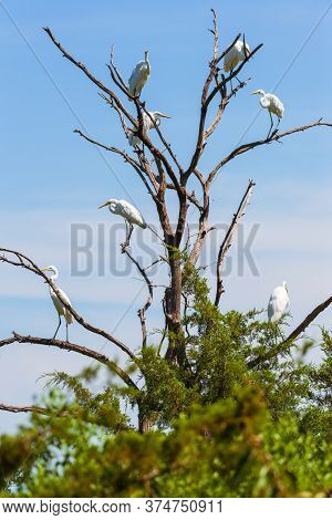 Group Of Great Egrets (ardea Alba) Sitting On Branches Of A Dead Tree. Bombay Hook National Wildlife