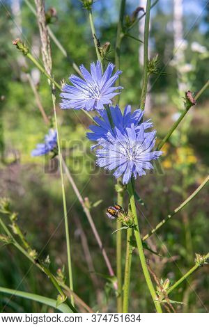 Chicory Blue Blossoms In The Meadow. Close Up.