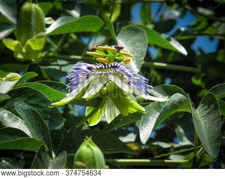 Blue Passionflower, Passiflora Caerulea,bluecrown Passionflower Or Common Passion Flower In Spring I