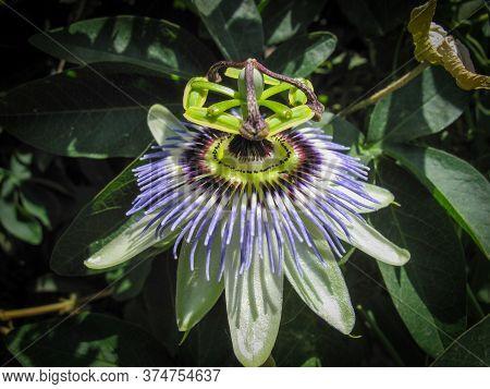 Passiflora Caerulea, The Blue Passionflower, Bluecrown Passionflower Or Common Passion Flower In Spr