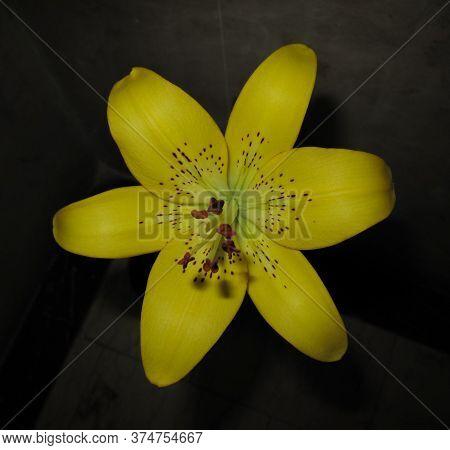 Close Up Of Yellow Lily Flower. Hemerocallis Lilioasphodelus Also Called Lemon Lily, Yellow Daylily,