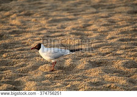 In The Early Morning, A Seagull Walks Along The Sea Coast. Lonely Seagull On The Sandy Shore