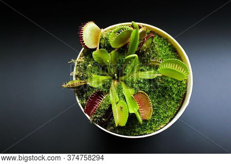 Predatory Flower Venus Flytrap In A Pot On A Black Background. Predatory Flower Dionaea. Dioanea Mus