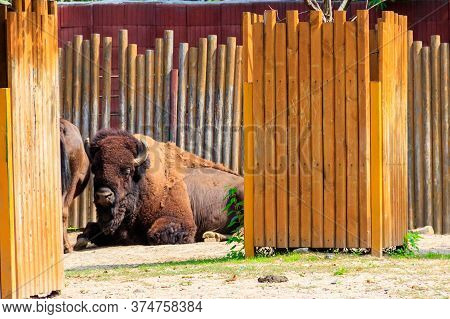 American Bison (bison Bison), Also Known As Buffalo In A Paddock At Farmyard