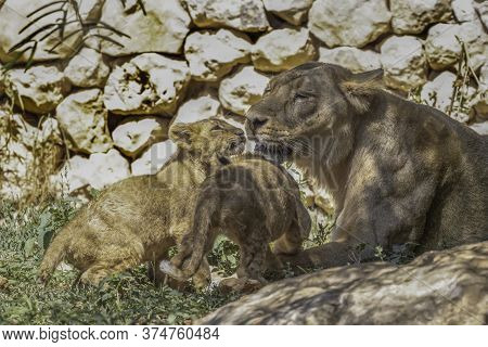 An Asian Lioness Playing With Her Young Cubs In Their Compound In The Jerusalem, Israel, Zoo.