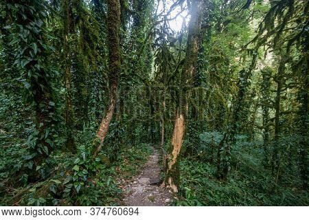 Path Between Tree Trunks Giant Mossed Rainforest Tree