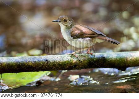 Beautiful adult Abbott's babbler, a cute bird, low angle view, side shot, foraging in the morning on