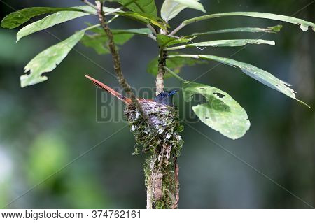 Beautiful Adult Female Asian Paradise-flycatcher, High Angle View, Side Shot, Hatching On The Bird\'