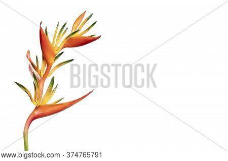 Close-up Of Heliconia Flower (heliconia Aurantiaca) Isolated On White Background