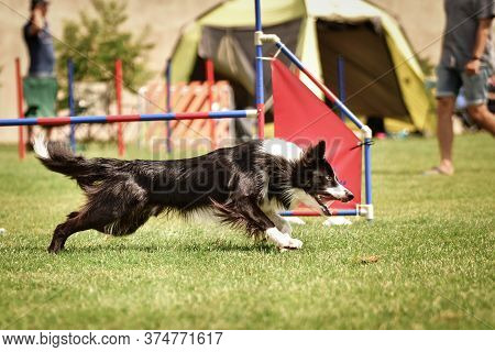 Tricolor Border Collie In Agility Race On Ratenice Competition. Amazing Day On Czech Agility Competi