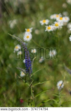 Delphinium Elatum Mountain Dark Blue Flower In Bloom. Close Up.