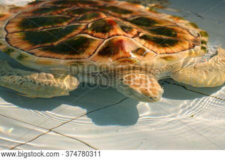 Hawksbill Sea Turtle In Aquarium