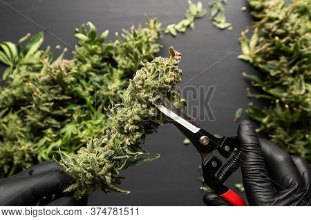 Growers Trim Cannabis Buds. Growers Trim Their Pot Buds Before Drying. The Sugar Leaves On Buds.